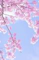 桜(トリミング130×200)